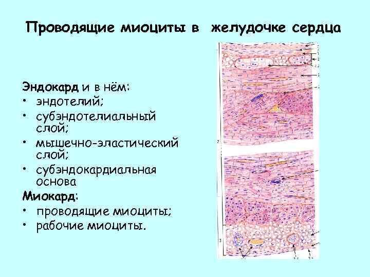 Проводящие миоциты в желудочке сердца Эндокард и в нём: • эндотелий; • субэндотелиальный слой;