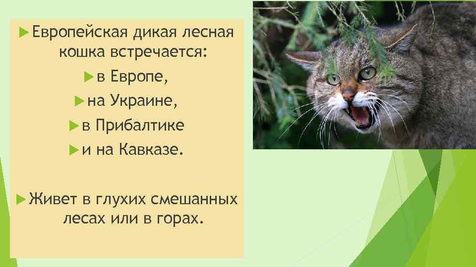 Европейская дикая лесная кошка встречается: в на Европе, Украине, в Прибалтике и на