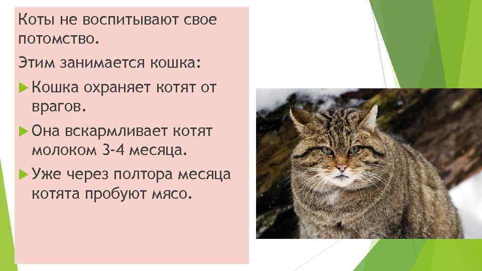 Коты не воспитывают свое потомство. Этим занимается кошка: Кошка охраняет котят от врагов. Она