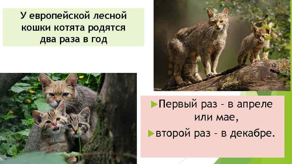 У европейской лесной кошки котята родятся два раза в год Первый раз – в