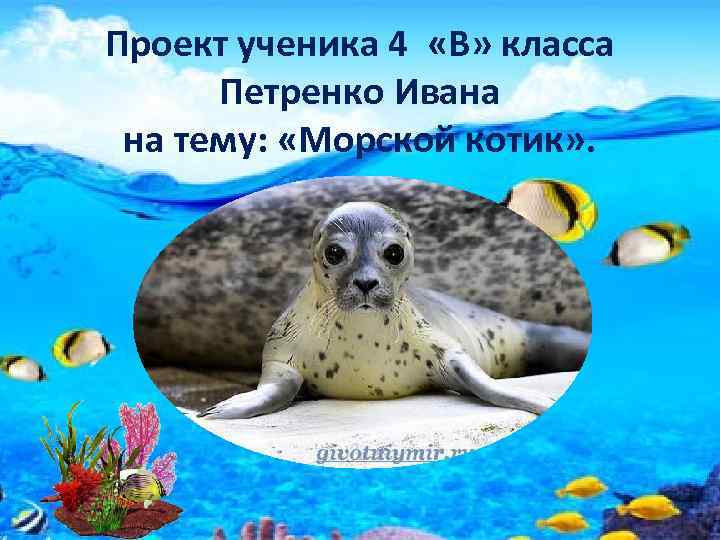 Проект ученика 4 «В» класса Петренко Ивана на тему: «Морской котик» .