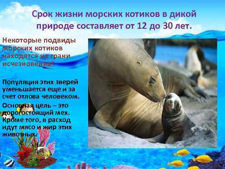 Срок жизни морских котиков в дикой природе составляет от 12 до 30 лет. Некоторые