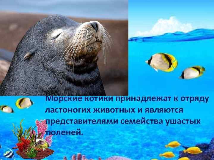 Морские котики принадлежат к отряду ластоногих животных и являются представителями семейства ушастых тюленей.