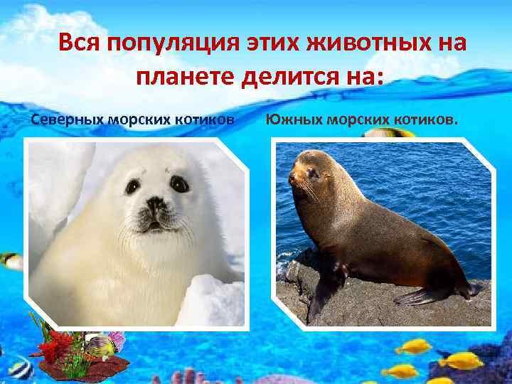 Вся популяция этих животных на планете делится на: Северных морских котиков Южных морских