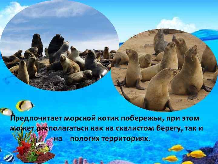 Предпочитает морской котик побережья, при этом может располагаться как на скалистом берегу, так и