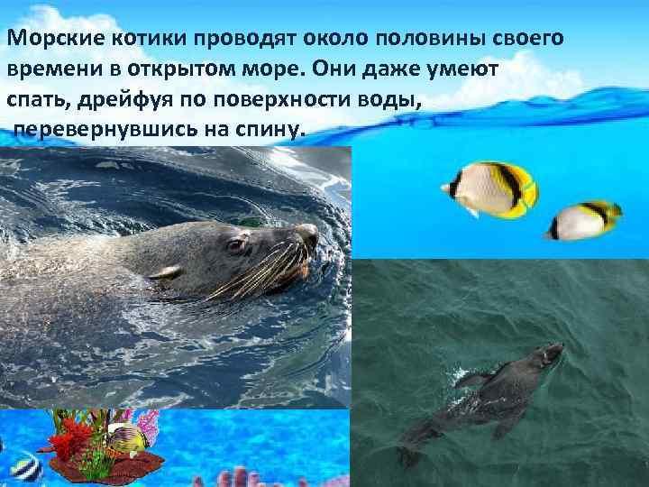 Морские котики проводят около половины своего времени в открытом море. Они даже умеют спать,