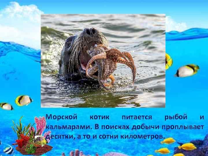 Морской котик питается рыбой и кальмарами. В поисках добычи проплывает десятки, а то и