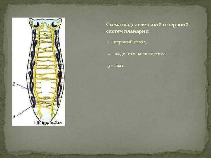 Схема выделительной и нервной систем планарии 1 – нервный ствол, 2 – выделительная система,