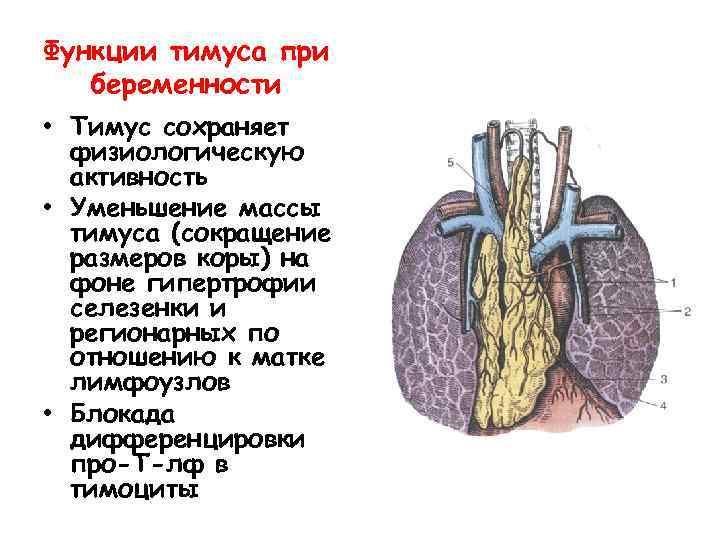 Функции тимуса при беременности • Тимус сохраняет физиологическую активность • Уменьшение массы тимуса (сокращение