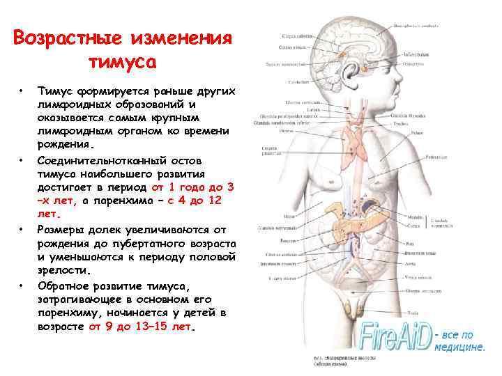 Возрастные изменения тимуса • • Тимус формируется раньше других лимфоидных образований и оказывается самым