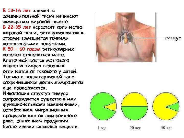 В 13– 16 лет элементы соединительной ткани начинают замещаться жировой тканью. В 22– 35
