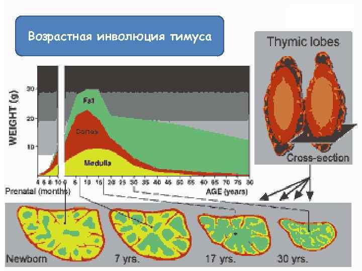 Возрастная инволюция тимуса
