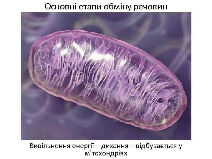 Основні етапи обміну речовин Вивільнення енергії – дихання – відбувається у мітохондріях