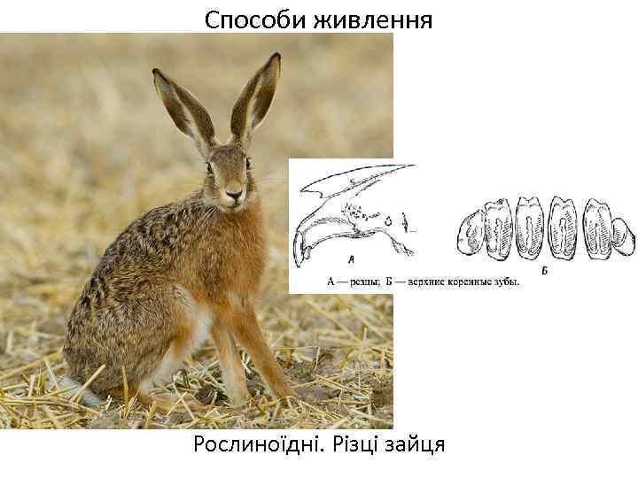 Способи живлення Рослиноїдні. Різці зайця