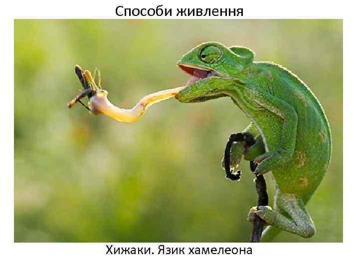 Способи живлення Хижаки. Язик хамелеона