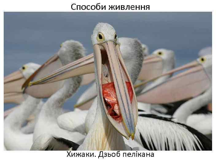 Способи живлення Хижаки. Дзьоб пелікана
