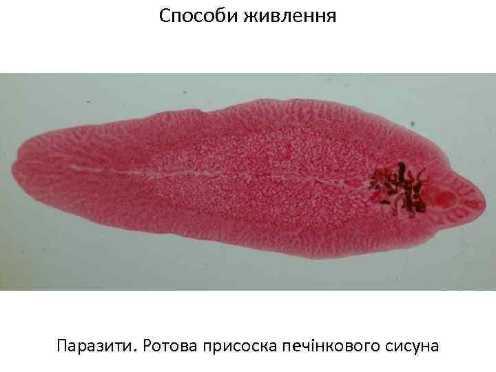 Способи живлення Паразити. Ротова присоска печінкового сисуна