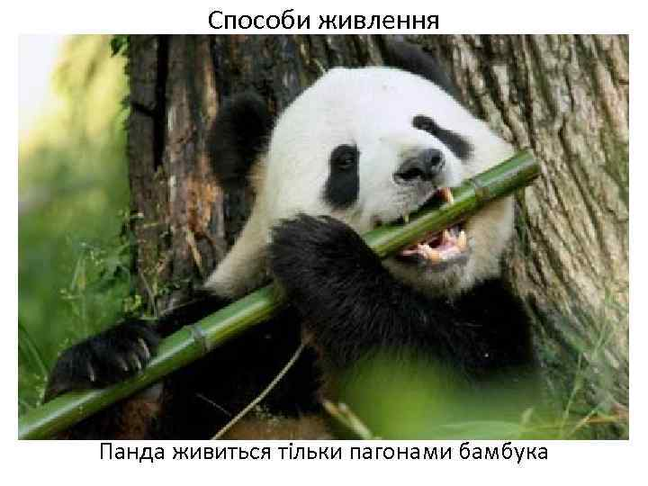 Способи живлення Панда живиться тільки пагонами бамбука