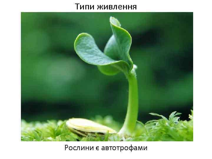 Типи живлення Рослини є автотрофами