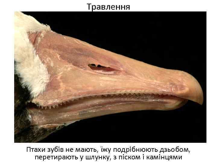 Травлення Птахи зубів не мають, їжу подрібнюють дзьобом, перетирають у шлунку, з піском і