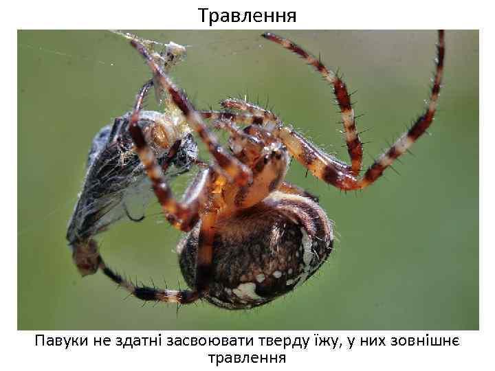 Травлення Павуки не здатні засвоювати тверду їжу, у них зовнішнє травлення