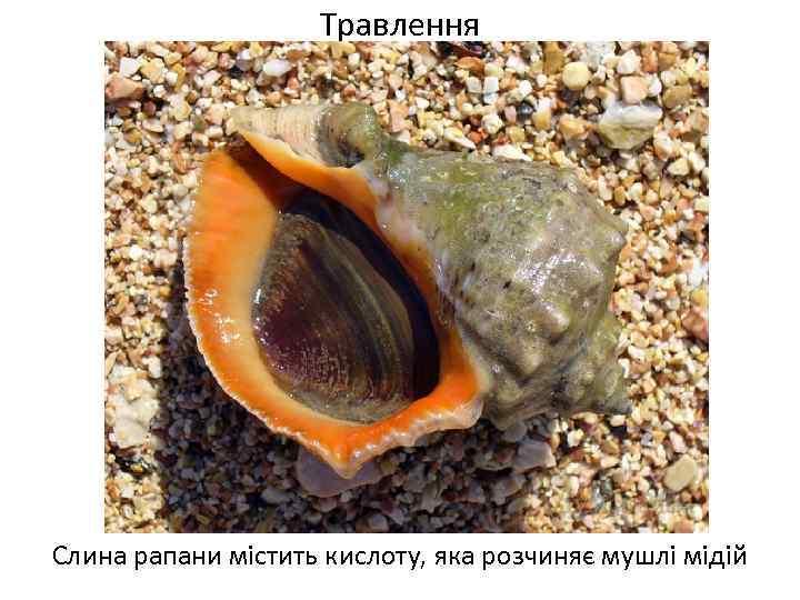 Травлення Слина рапани містить кислоту, яка розчиняє мушлі мідій