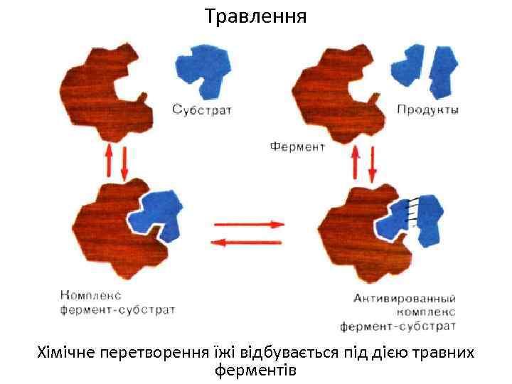 Травлення Хімічне перетворення їжі відбувається під дією травних ферментів