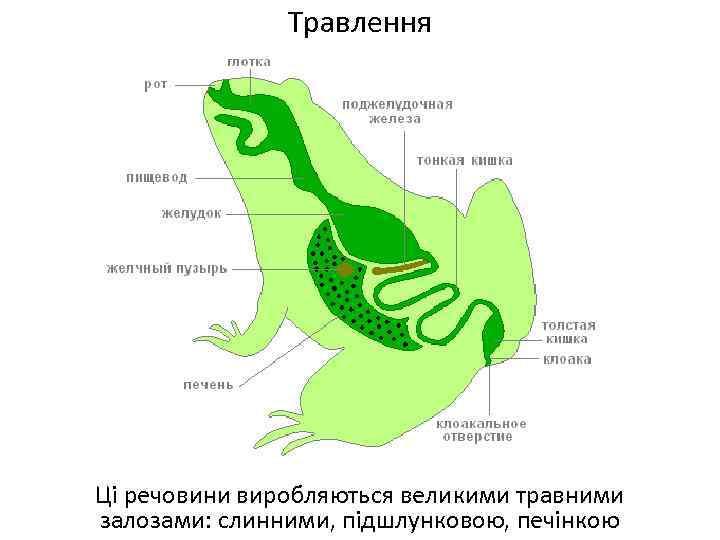 Травлення Ці речовини виробляються великими травними залозами: слинними, підшлунковою, печінкою