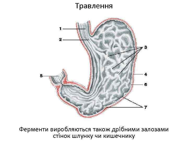 Травлення Ферменти виробляються також дрібними залозами стінок шлунку чи кишечнику