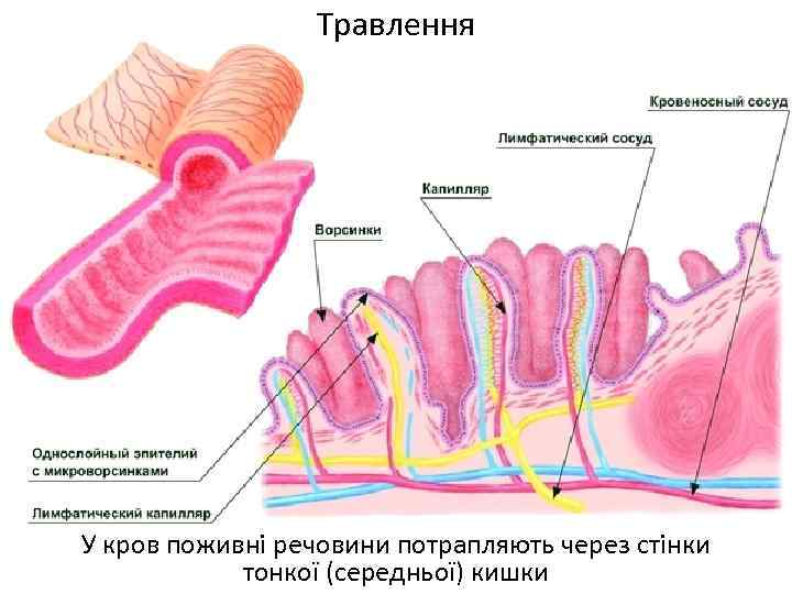 Травлення У кров поживні речовини потрапляють через стінки тонкої (середньої) кишки