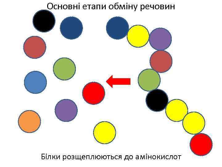 Основні етапи обміну речовин Білки розщеплюються до амінокислот