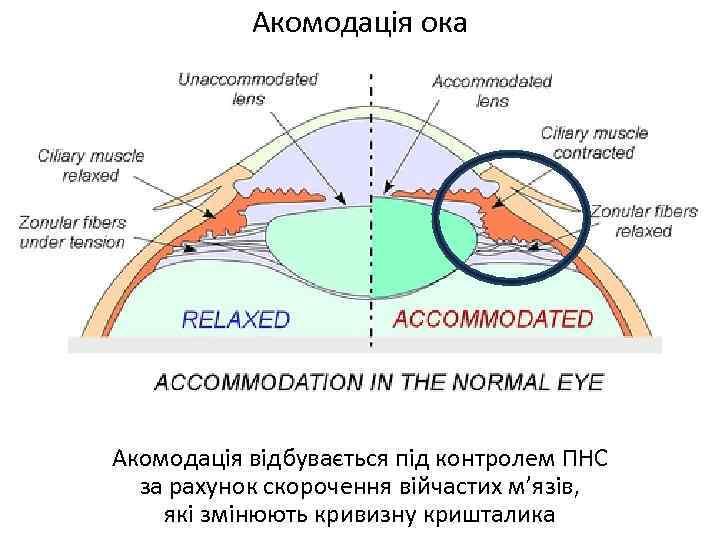 Акомодація ока Акомодація відбувається під контролем ПНС за рахунок скорочення війчастих м'язів, які змінюють