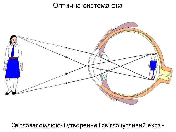 Оптична система ока Світлозаломлюючі утворення і світлочутливий екран