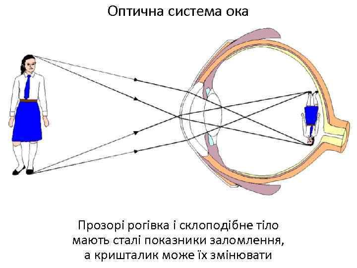 Оптична система ока Прозорі рогівка і склоподібне тіло мають сталі показники заломлення, а кришталик