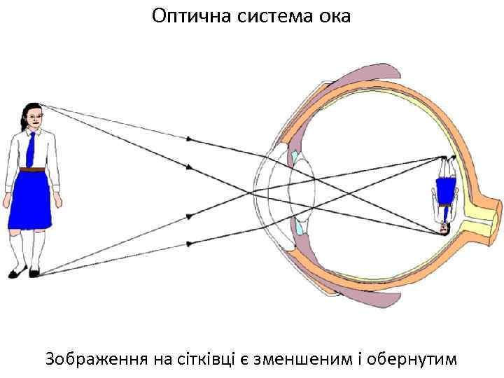 Оптична система ока Зображення на сітківці є зменшеним і обернутим