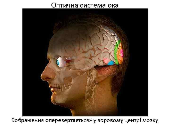 Оптична система ока Зображення «перевертається» у зоровому центрі мозку