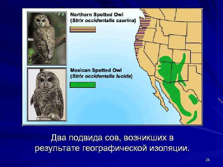 Два подвида сов, возникших в результате географической изоляции. 24