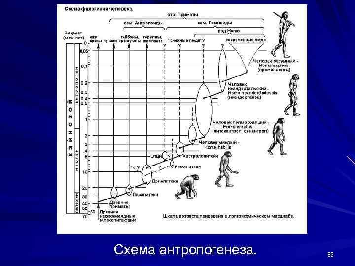 Схема антропогенеза. 83