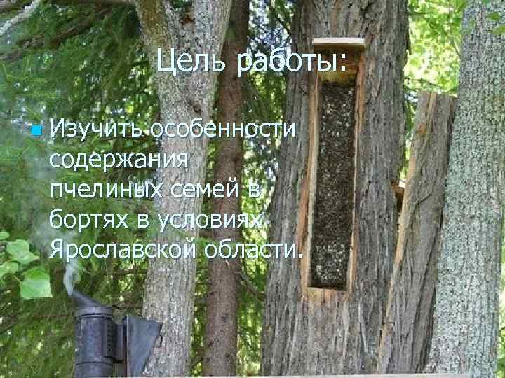Цель работы: n Изучить особенности содержания пчелиных семей в бортях в условиях Ярославской области.