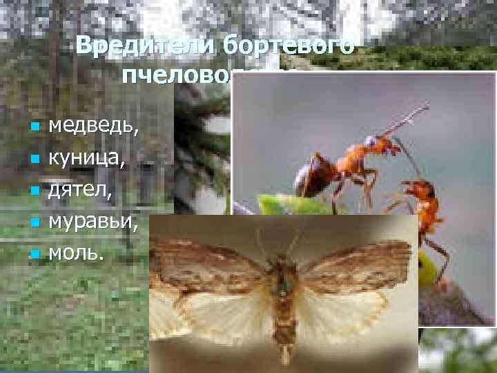 Вредители бортевого пчеловодства. n n n медведь, куница, дятел, муравьи, моль.