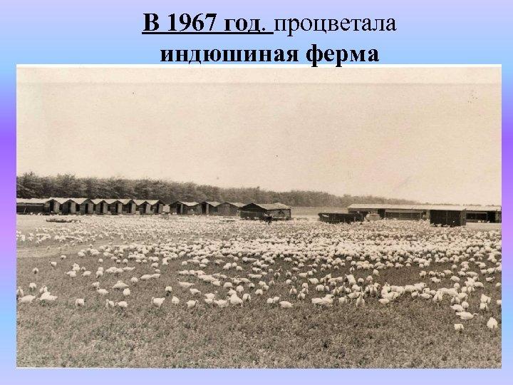 В 1967 год. процветала индюшиная ферма