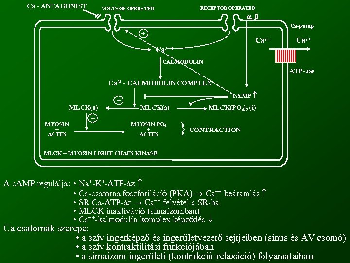 Ca - ANTAGONIST RECEPTOR OPERATED VOLTAGE OPERATED Ca-pump + Ca 2+ CALMODULIN ATP-ase Ca