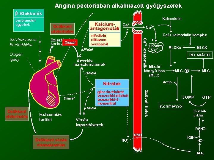Angina pectorisban alkalmazott gyógyszerek -Blokkolók propranolol egyebek Csökkent utóterhelés Szisztémás Dilatál keringés Kalcium. Ca