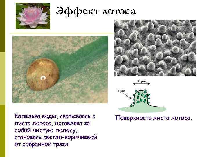 Эффект лотоса Капелька воды, скатываясь с листа лотоса, оставляет за собой чистую полосу, становясь