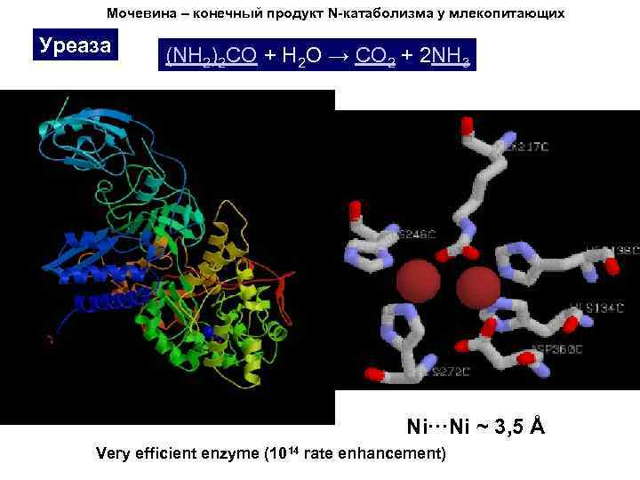 Мочевина – конечный продукт N-катаболизма у млекопитающих Уреаза (NH 2)2 CO + H 2