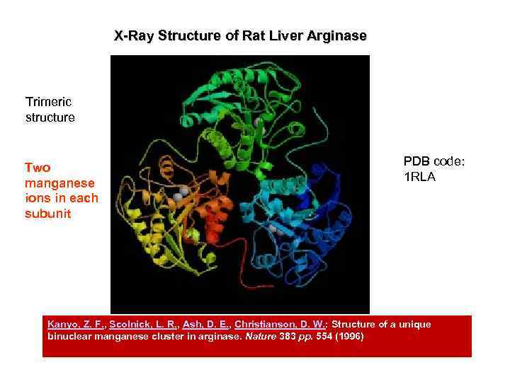 X-Ray Structure of Rat Liver Arginase Trimeric structure Two manganese ions in each subunit
