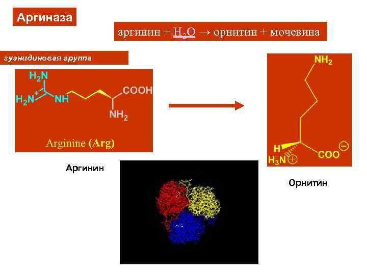Аргиназа аргинин + H 2 O → орнитин + мочевина гуанидиновая группа Аргинин Орнитин