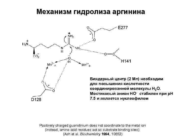 Механизм гидролиза аргинина Биядерный центр (2 Mn) необходим для повышения кислотности координированной молекулы Н