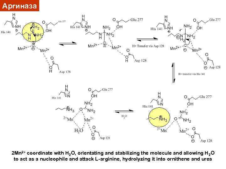 Аргиназа 2 Mn 2+ coordinate with H 2 O, orientating and stabilizing the molecule