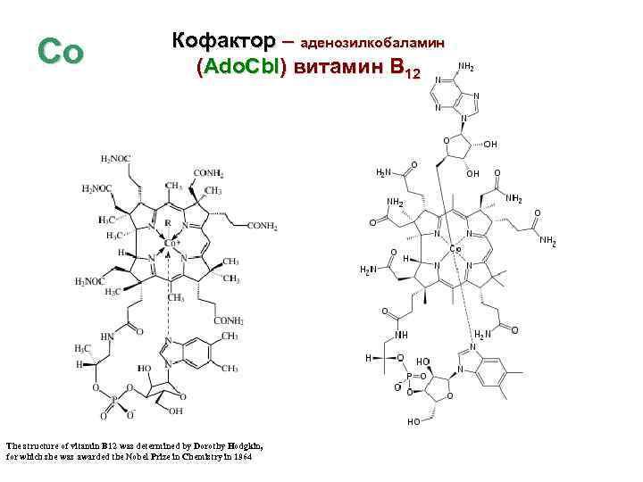 Со Кофактор – аденозилкобаламин (Ado. Cbl) витамин В 12 The structure of vitamin B